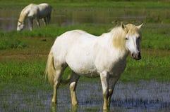 białe konie Obraz Stock