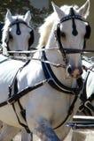 białe konie Obrazy Royalty Free