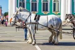 białe konie Obraz Royalty Free