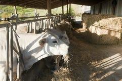 białe krowy Obraz Royalty Free