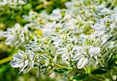białe kwiaty Obraz Stock