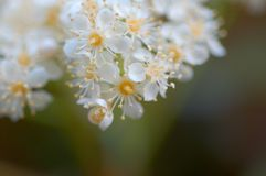 białe kwiaty Fotografia Royalty Free