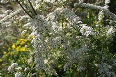 białe kwiaty zdjęcia stock