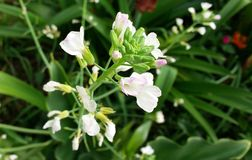 białe kwiaty Zdjęcie Stock