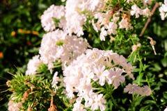białe kwiaty Obrazy Stock