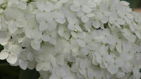 białe kwiaty hortensji zbiory