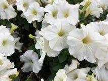 białe kwiaty Wczesna jesieni natura Obraz Stock