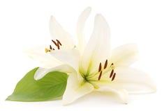 białe lilie Zdjęcie Royalty Free