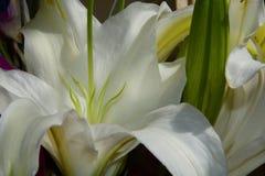 białe lilie Zdjęcia Royalty Free