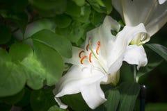 białe lilie Zdjęcie Stock