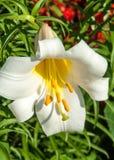 białe lilie heraldyczny lis Kwiaty w flowerbed Fotografia Royalty Free