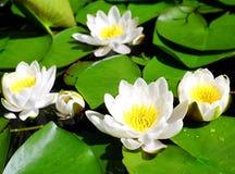 białe lilie wodach. Fotografia Royalty Free