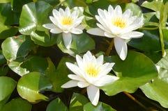 białe lilie wodach Zdjęcie Royalty Free