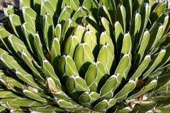 Białe linie na kaktusie Zdjęcie Stock