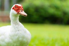 Białe Muscovy kaczki Zdjęcia Royalty Free