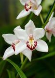 białe orchidee zdjęcia stock