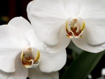 białe orchidee obrazy royalty free