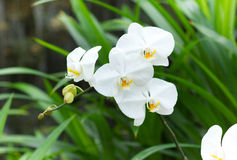 białe orchidee Obraz Stock