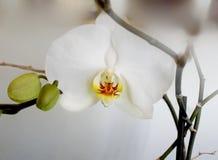 białe orchidee fotografia royalty free