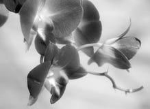 białe orchidee czarne Zdjęcie Stock