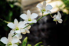 Białe orchidee na badylu Fotografia Royalty Free