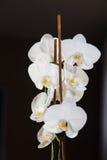 Białe orchidee na czarnym backgroud Obraz Stock