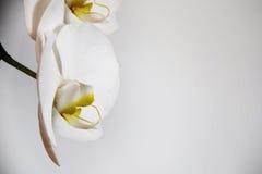 Białe orchidee na lekkim tle Fotografia Royalty Free