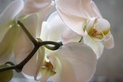 Białe orchidee na okno Zdjęcia Stock