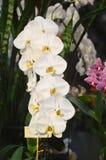 Białe phalaenopsis orchidee Zdjęcia Royalty Free