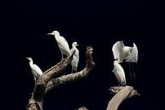 białe ptaki Fotografia Stock