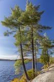 Białe sosny na Skalistej Jeziornej linii brzegowej - Ontario, Kanada Obrazy Stock