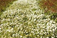 Białe stokrotki na flowerbed Fotografia Royalty Free