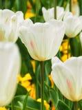 białe tulipany fotografia stock