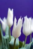 białe tulipany Fotografia Royalty Free
