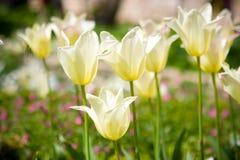 białe tulipany Zdjęcia Royalty Free