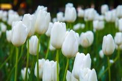 białe tulipany Obrazy Royalty Free