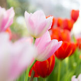 białe tulipany Zdjęcie Stock