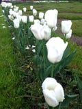 białe tulipany Zdjęcie Royalty Free