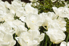 białe tulipany kolor tulipany polowe Obrazy Stock