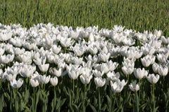 białe tulipany polowe Zdjęcie Royalty Free