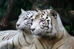 białe tygrysy Obrazy Royalty Free