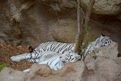 białe tygrysy ilustracja wektor