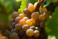 białe wino z winogron Zdjęcie Royalty Free
