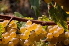 białe wino z winogron Zdjęcia Stock