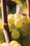 białe wino z winogron Obraz Royalty Free