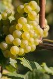 białe wino z winogron Fotografia Royalty Free