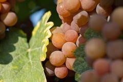 białe wino z winogron Zdjęcia Royalty Free