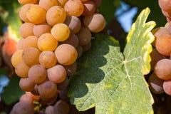 białe wino z winogron Zdjęcie Stock