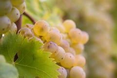 białe wino z winogron Obrazy Royalty Free