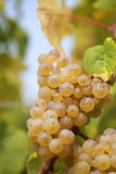 białe wino z winogron Obrazy Stock